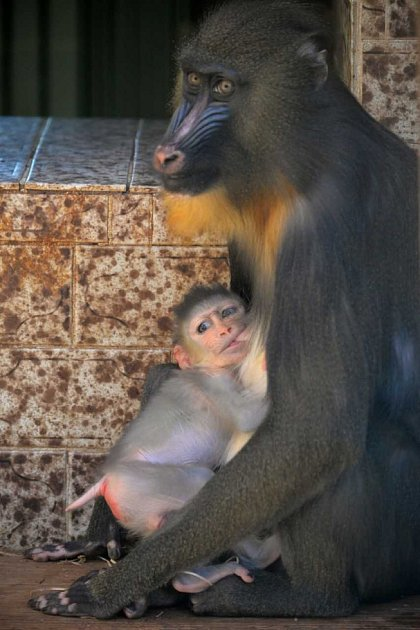 Mládě mandrila rýholícího se narodilo vústecké zoo.