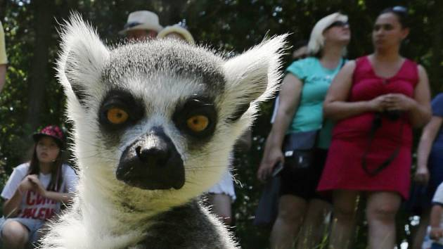 Průchozí výběh lemurů kata v ústecké zoo.
