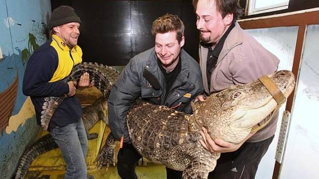 Cirkus Berousek vystoupí v Ústí se svou krokodýlí show Sultán