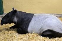 Tapír Mekong se v ústecké zoologické zahradě zabydlel.