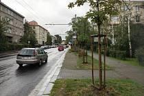 Mladé javory v ústecké Klíšské ulici
