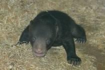 Mládě medvěda malajského se narodilo v ústecké zoo. Takto vypadá po sedmi týdnech života.