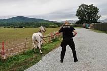 Strážníci chytali ve Strážkách volně pobíhajícího koně
