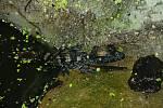 Ústecká zoo je jedinou zahradou na světě, kde se za posledních 12 měsíců podařil odchov kajmanů zakrslých.