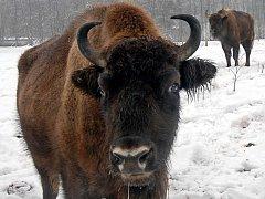 Zubr evropský zná v České republice v současné době jen chov v ohradách, případně v oborách. Brzy ale první jedince chtějí vypustit odborníci do volné přírody.