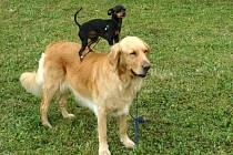 I voříšci umí to, co pes s rodokmenem.