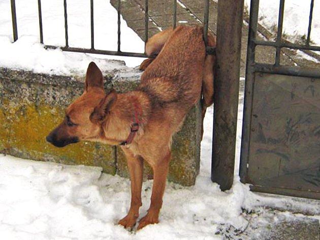 Zamilovaný pes uvízl v plotě.