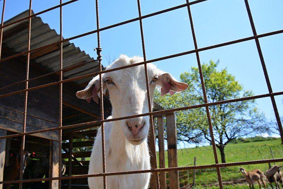 Kozí farma ve Vizovicích 3. června 2021. Po pandemii zápasí s financemi, chybí na žrádlo, kterého stohlavé stádo spořádá téměř 5 tun za měsíc.