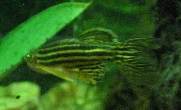 Dánio pruhované - svítící ryba