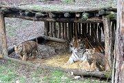 Ve zlínské zoo se narodila tři mláďata tygrů ussurijských