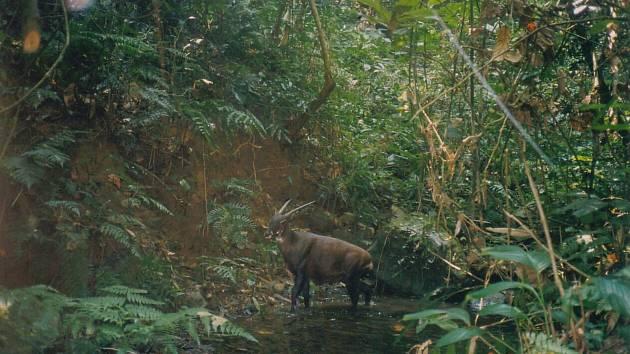 Saola žije pouze na malém území v Annamském pohoří na hranici Vietnamu a Laosu.
