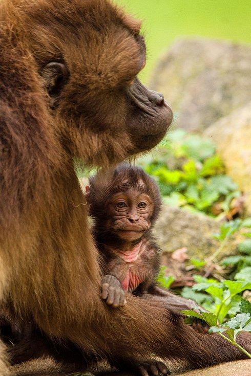 Početná tlupa dželad v Zoo Zlín se rozrostla. Narodila se hned dvě mláďata. Září 2021