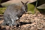Dalším chovatelským úspěchem se může pochlubit zoo ve Zlíně. Skupina tamních klokanů rudokrkých se totiž významně rozrostla, a v současné době tam návštěvníci mohou vidět jedenáct mláďat.