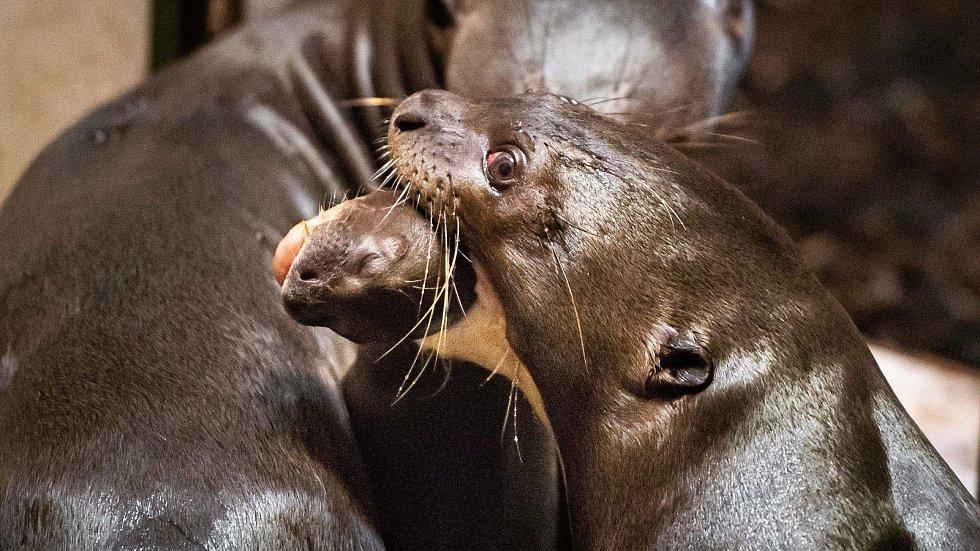 Zlínská zoo informovala tento týden o odchovu tří mláďat vydry obrovské, která se narodila na konci října. Odchov těto zvířat je přitom extrémně náročný, protože zásadní problém představuje vysoká úmrtnost mláďat krátce po narození.