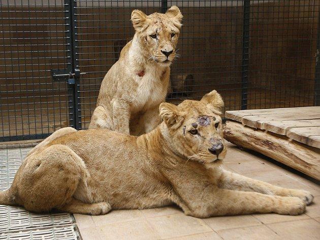 Mládé samice lva konžského v Zoo Lešná.