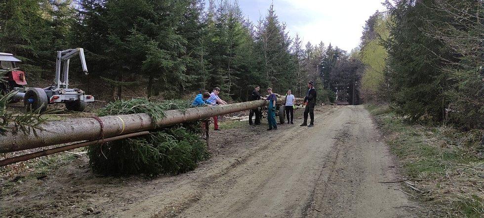 Kácení stromu pro máj v Provodově.