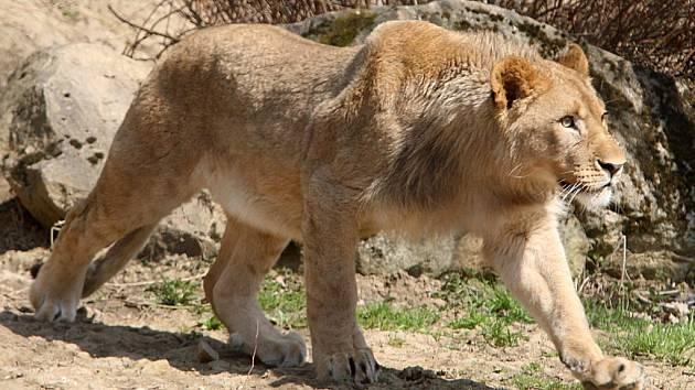 ZOO Lešná - lev konžský Amamboo