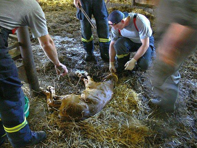 """Hasiči cvičili evakuaci chovného dobytka na farmě v Kašavě. Cvičení bylo ukončeno opravdu netradičně. Neplánovaně došlo u jedné z otelených krav na """"její čas"""" a hasiči museli asistovat přímo u porodu."""