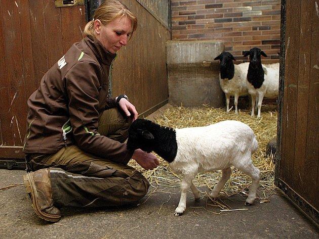 Mládě ovce somálské v ZOO Lešná.