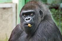 Gorila Judita oslavila 45. narozeniny.