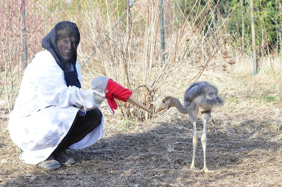 Chovatelé krmí mladé jeřáby pomocí loutky. Při odchovu jeřábů laločnatých je velmi důležité omezit osobní kontakt na minimum, aby mláďata nebyla na lidi fixovaná.