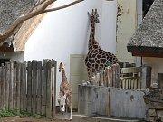 Mládě žirafy rothschildovy v ZOO Lešná ve Zlíně.