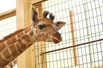 Mládě žirafy Rotschildovy v ZOO Lešná