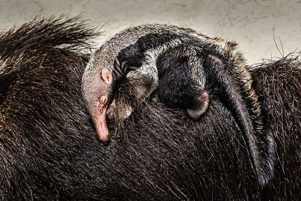 Sameček mláděte mravenečníka velkého se v zoo Zlín narodil 4. ledna a stal se vpořadí třetím mládětem vhistorii chovu.