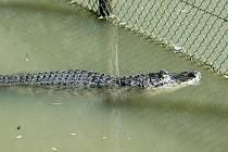 Ve zlínské zoo mají na léto dva aligátory venku v jezírku