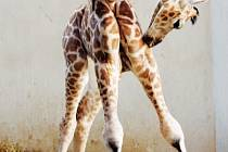 Teprve dvoudenní mládě žirafy Rothschildovy mohou obdivovat návštěvníci zlínské zoologické zahrady.
