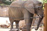 Již za dva měsíce má přijít na svět v Zoo Zlín mládě slona afrického. Ve sloninci však nedochází k žádným výrazným změnám. Zola , Kali i Ulu, musí trénovat každý den.  (Kali).