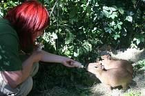 Zoo Lešná se může pyšnit odchovem tří mláďat kapybar, největších žijících hlodavců na světě.