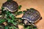Chovatelům ve zlínské zoo se podařilo úspěšně odlíhnout osm želv pralesních.