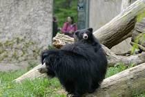 Mládě medvěda pyskatého ve zlínské zoo už řádí ve venkovním výběhu.