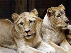 Mladé samice lva konžského v Zoo Lešná.