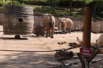 Již za dva měsíce má přijít na svět v Zoo Zlín mládě slona afrického. Ve sloninci však nedochází k žádným výrazným změnám. Zola , Kali i Ulu, musí trénovat každý den.  (Ulu a Zola).