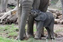 Mládě slona afrického ve zlínské zoo, 13. června 2021