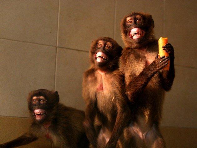 Opice dželady hnědé v ZOO Lešná.