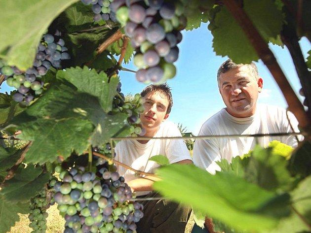 Vinařská sezóna se pomalu blíží k svému vrcholu. Ve vinici Karla Světlíka (na snímcích společně se synem Cyrilem) z Horního Lapače na pomezí Zlínska a Kroměřížska pomalu dozrávají hrozny. První sklizeň pak vinař očekává v nejbližsích dvou až třech týdnech