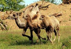 Mláďata velblouda dvouhrbého v ZOO Lešná ve Zlíně.