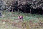 V Doubravách na Zlínsku se pohybuje medvěd