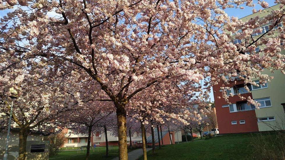 Kvetoucí stromy ve Zlíně