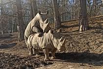Poprvé po osmi letech od příchodu samce Kashky chovatelé zaznamenali u nosorožců první skutečné páření.