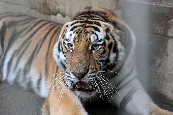 Stěhování tygra usurijského vZoo Lešná.
