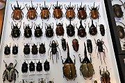 Již 25 let pořádá Dan Čagánek se svojí ženou Entomologickou výstavu v Otrokovicích. V pořadí již 47. setkání  milovníků hmyzu, pavouků a plazů se konalo v sobotu 14. října v Otrokovické besedě. Výměnného dne s prodejní výstavou se pravidelně zúčastní na d