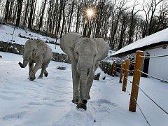 I navzdory studenému počasí si sloni ve zlínské zoo Lešná užívají pobytu venku.