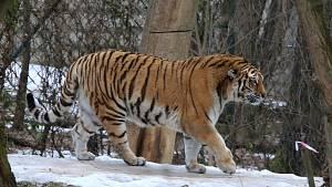 Tygr ussurijský v ZOO Lešná