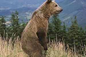 Medvěd, který se v okolí Lysé Hory v Beskydech pohybuje asi dva měsíce.autor: