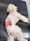 Zraněný napadený pudlík, musel být hospitalizován na veterinární klinice.