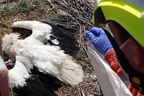 Hasiči sundali uhynulého čápa z hnízda ve Fryštáku.